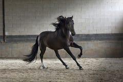 Bedöva den svarta hingsthästen som galopperar i arenan royaltyfri foto