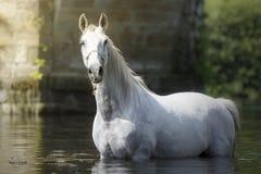 Bedöva den vita hästen i floden royaltyfri bild