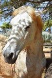 Bedöva den vita hästen som är fläckig med fläckar av grå färger arkivbilder