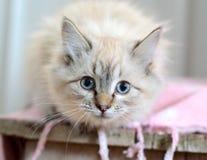 Bedöva den vita katten Royaltyfri Bild