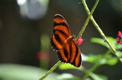 Bedöva eken Tiger Butterfly Resting på blommor Royaltyfria Foton