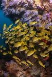 Bedöva färg i Maldiverna dyka platsen mycket av mjuk korall och fiska Arkivbild