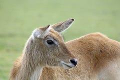 bedöva för hjortar Royaltyfri Fotografi