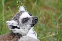 bedöva för lemur Royaltyfri Bild