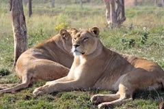 bedöva för lioness Arkivfoton