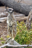 bedöva för meerkat Arkivbilder