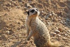 bedöva för meerkat Arkivfoto