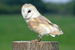 bedöva för owl Arkivfoton