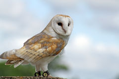 bedöva för owl Royaltyfri Fotografi