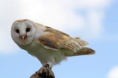 bedöva för owl Royaltyfri Foto