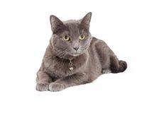 Bedöva Grey Domestic Shorthair Cat Laying Arkivfoto