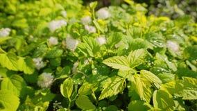 Bedöva härliga gröna Bush efter regn På härliga gröna sidor skimra i solen och regnet stock video