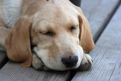 bedöva hunden Fotografering för Bildbyråer