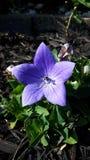 Bedöva lilan Arkivbilder