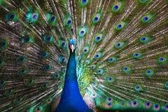 Bedöva påfågeln royaltyfria foton