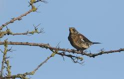 Bedöva pilaris för en FieldfareTurdus som sätta sig på en filial av ett träd fotografering för bildbyråer