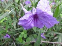 Bedöva purpurfärgad ursnygg mexikansk petuniaruelliabrittoniana Royaltyfria Bilder