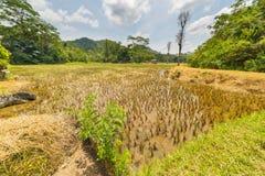 Bedöva risfältlandskap fotografering för bildbyråer