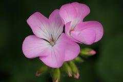 Bedöva rosa pelargon Arkivfoton