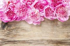 Bedöva rosa pioner royaltyfria foton