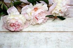 Bedöva rosa pioner på vitt lantligt trä arkivbilder