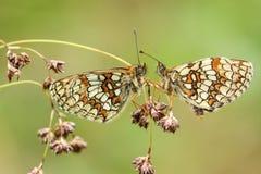 Bedöva sällsynt Heath Fritillary Butterfly Melitaea athalia för två som sätta sig på att kärna ur gräs som vänder mot sig i en kl arkivfoton