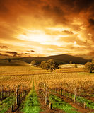 bedöva solnedgångvingård fotografering för bildbyråer