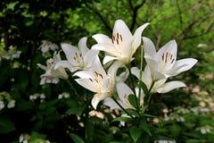 Bedöva Tiger Lilies i beautifully landskap trädgårdar Royaltyfri Bild