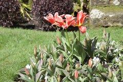 Bedöva tulpan; öppna kronblad och många stängda knoppar som når för solljus royaltyfri bild