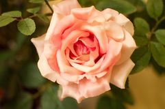 Bedöva valentindagen Rose Pink Botany February 14th Arkivfoton