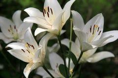 Bedöva variation av säsongsbetonade Tiger Lilies Royaltyfri Foto