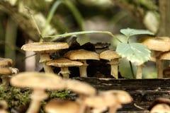 bedłek dzień jadalni grzyby miodowi las odizolowywający pieczarkowy biel Zdjęcie Stock