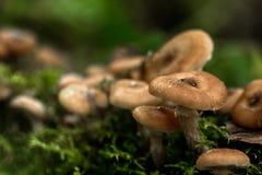 bedłek dzień jadalni grzyby miodowi las odizolowywający pieczarkowy biel Obraz Royalty Free