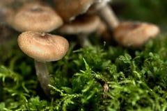 bedłek dzień jadalni grzyby miodowi las odizolowywający pieczarkowy biel Fotografia Royalty Free