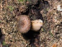 Bedłka miodowy grzyb na brzozy drzewie, makro-, selekcyjna ostrość, Obrazy Royalty Free