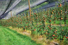 The bed of apple plantation. The apple bed on the fruit plantation in Austria Royalty Free Stock Photography