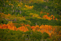Bed of Aspen on Steens Mountain Royalty Free Stock Photography