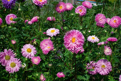 Bed with asters Stock Image