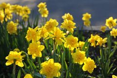 Beautiful yellow Daffodils. Bed of beautiful yellow Daffodils royalty free stock photo