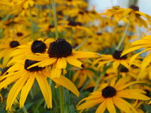 Bed of black eyed susans royalty free stock photos