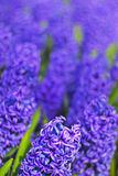 A bed of Blue and Purple Hyacinth flower taken in a Park with saturated effect Royalty Free Stock Images