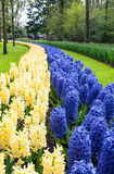 Bed of blue and white hyacinths Royalty Free Stock Image