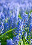 Bed of Bluebells. Or Grape Hyacinth or Muscari armeniacum Royalty Free Stock Images