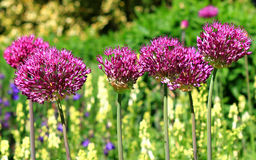 A bed of brightly coloured Allium Flowers against a blurred background Stock Photos