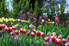 A Bed of Brightly Coloured Tulips. A spring garden full of brightly coloured tulips Stock Photography
