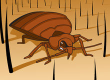 Bed Bug. Getting ready to feed Royalty Free Stock Photos