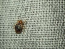 Free Bed Bug Crawling On The Sheet. Household Parasite. Close-up Photo Stock Photos - 207053863