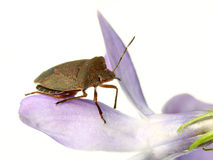 Bed-bug on flower. Brown bed-bug on purple flower, on white Royalty Free Stock Photos