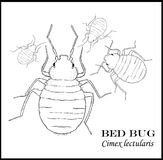 Bed Bug Illustrated Poster. Group of various sizes of illustrated bed bugs, black outline on white background royalty free stock photo