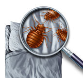 Bed Bug Infestation. Bed bug or bedbug infestation concept as a magnification close up of  parasitic insect pests on a pillow and under the sheets as a hygiene Royalty Free Stock Images